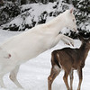 """ You Have Entered the Danger Zone ""  Wild Albino whitetail deer of Boulder Junction Wisconsin"