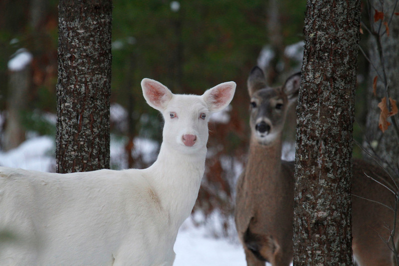 Blue Eyes and Her Shadow 3   Wild albino deer of Boulder Junction Wisconsin