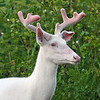 """ Broken Ear in Velvet""  Wild Albino whitetail deer of Boulder Junction Wisconsin"