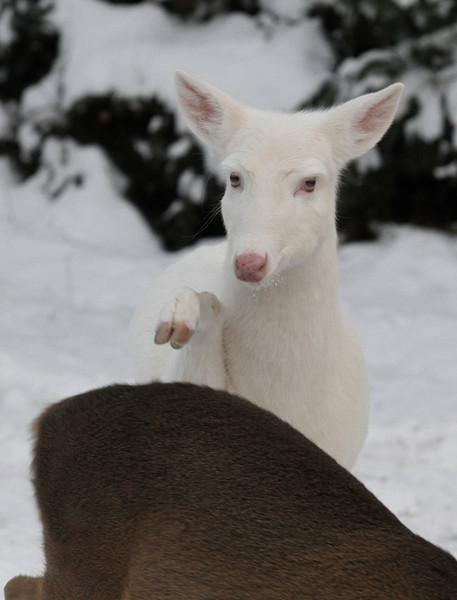 """ The Mean Old Grinch ""  Wild Albino whitetail deer of Boulder Junction Wisconsin"