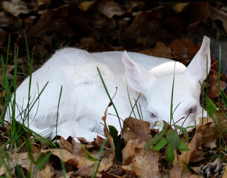 Newborn Albino Fawn 2