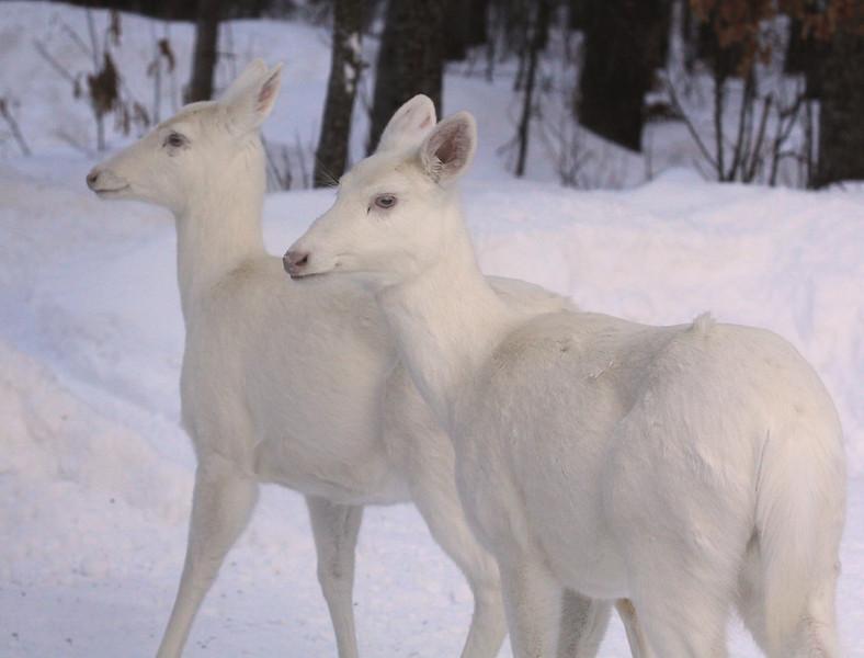 """ Albino Snow Angels ""  Wild Albino whitetail deer of Boulder Junction Wisconsin"