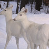 """ Albino Snow Angels ""  Wild Albino whitetail deer of Boulder Junction Wisconsin"