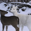 """ I Love You Ma""  Wild Albino whitetail deer of Boulder Junction Wisconsin"