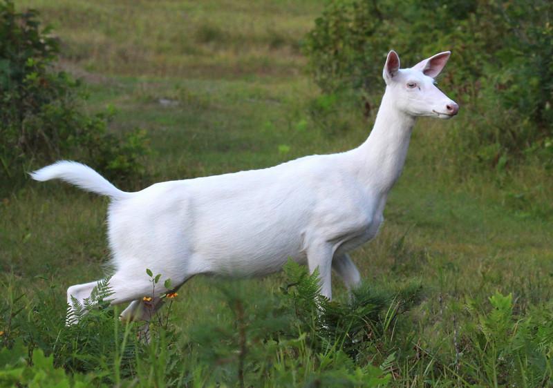 """  Danger Sigh  ""  Wild albino whitetail deer of Boulder Junction Wisconsin."