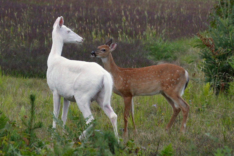"""I Love My Mother ""  2   Wild albino deer of Boulder Junction Wisconsin"