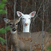 """ Stand By Me "" 3  Wild Albino whitetail deer of Boulder Junction Wisconsin"