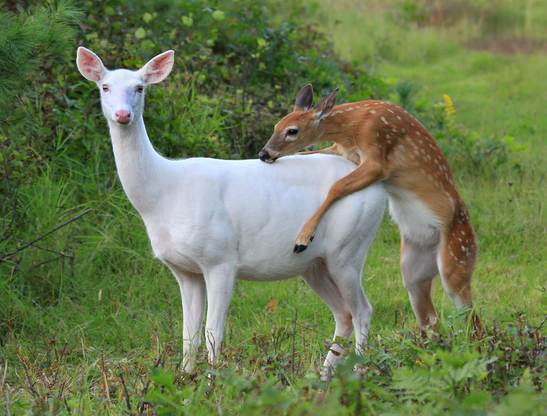 """ Hitchin' a Ride ""  Wild Albino White-tailed Deer  of Boulder Junction Wisconsin"