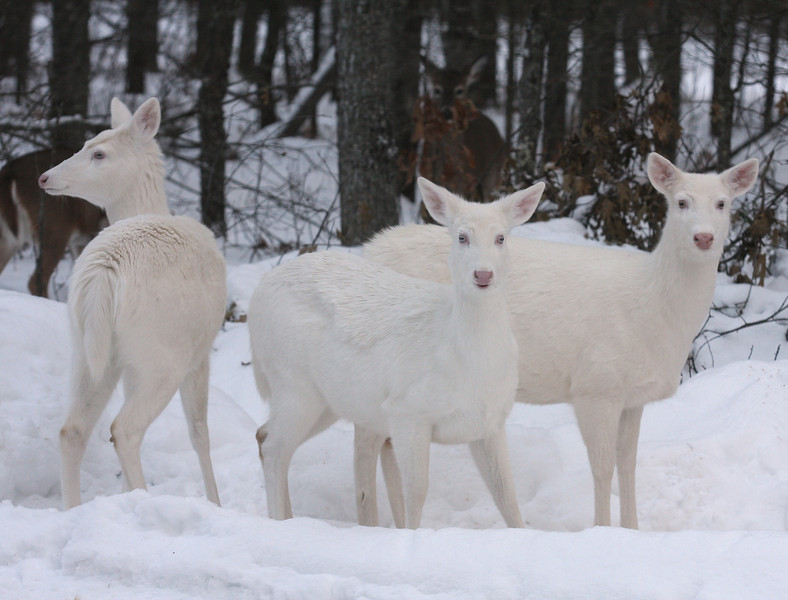 """ Dressed in Our  Winter Camouflage ""  Wild Albino whitetail deer of Boulder Junction Wisconsin"
