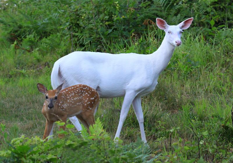 """"""" Mothers Little Helper""""  Wild Albino whitetail deer of Boulder Junction Wisconsin"""