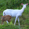 """ Mothers Little Helper""  Wild Albino whitetail deer of Boulder Junction Wisconsin"