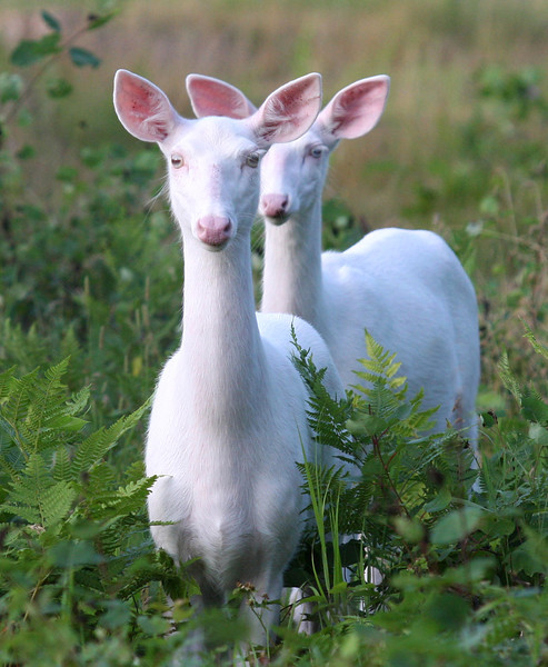 """Me and My Shadow""  Wild Albino whitetail deer of Boulder Junction Wisconsin"