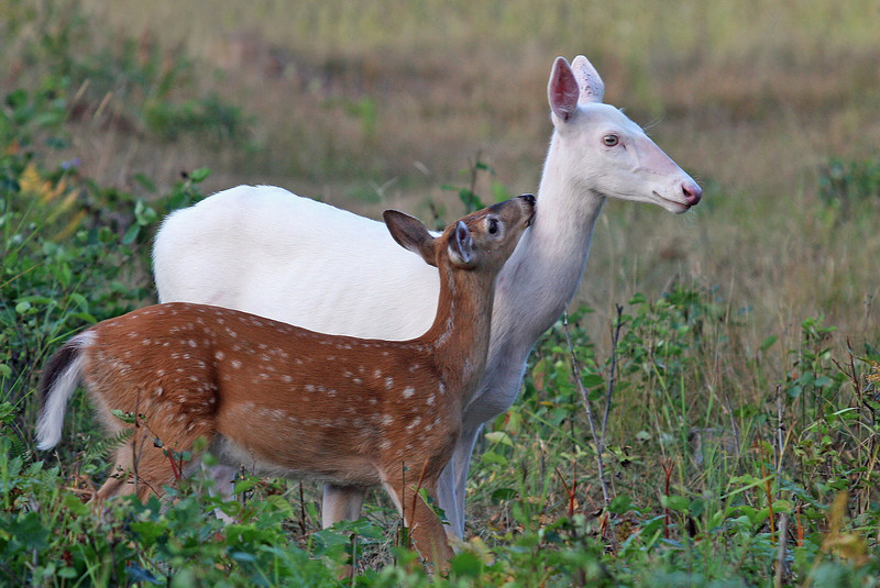 """ I Love You Mommy""  Wild Albino whitetail deer of Boulder Junction Wisconsin"