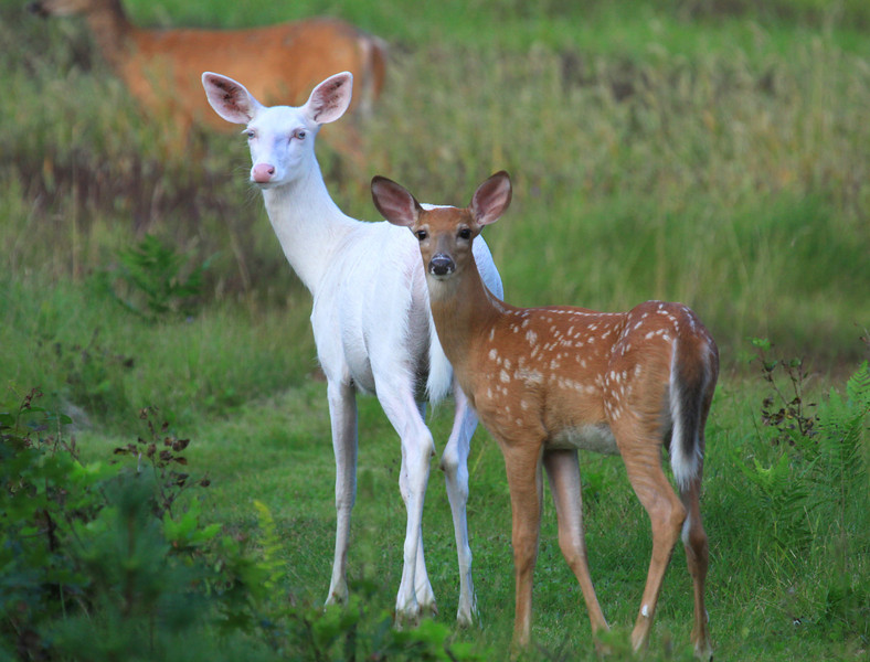 """ Baby Blue Eyes with Fawn""  A rare and wild Albino whitetail deer with her brown fawn. A real miracle of nature"