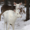"""  The Heads Are Aligned  ""  Wild Albino whitetail deer of Boulder Junction Wisconsin"