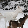 """ You Have Entered the Danger Zone ""  4  Wild Albino whitetail deer of Boulder Junction Wisconsin"