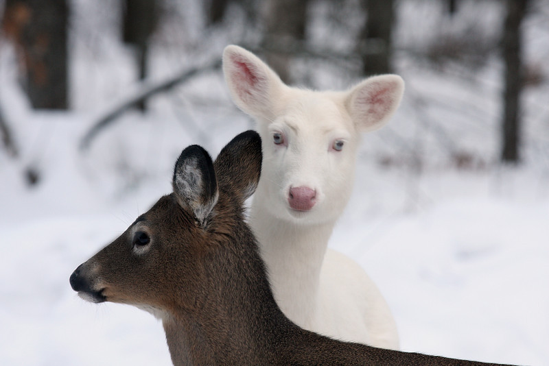"""My Body Guard""  Wild Albino whitetail deer of Boulder Junction Wisconsin"