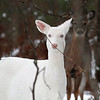 Blue Eyes and Her Shadow   Wild Albino deer of Boulder Junction Wisconsin