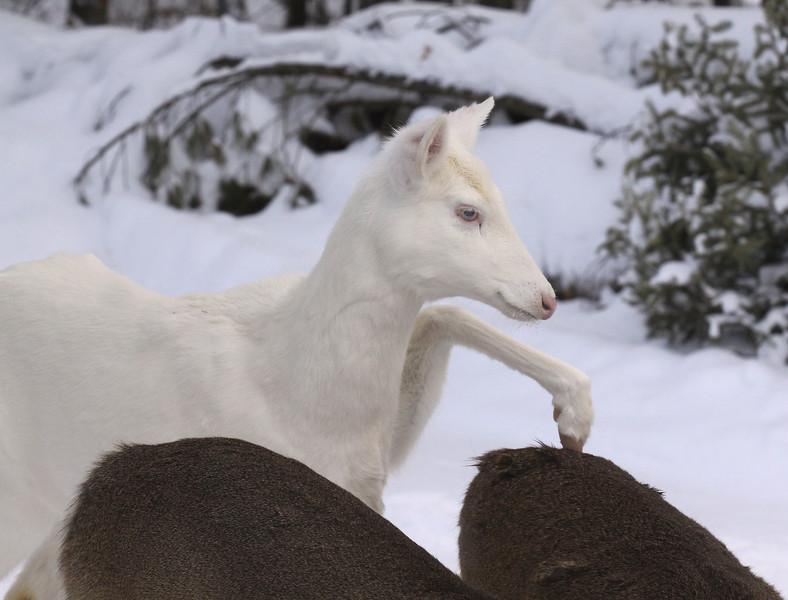 """ Kickin' Butt ""  Wild Albino whitetail deer of Boulder Junction Wisconsin"