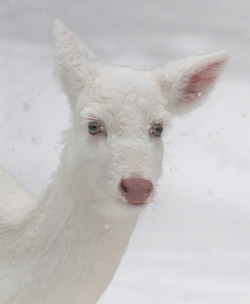 Snow White in Her White World - Albino whitetail deer of Boulder Junction Wisconsin