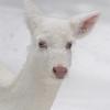 Snow White in Her White World - Albino whitetail deer of Boulder Junction Wisconsin