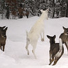 """ Let's Dance ""  Wild Albino White-tailed Deer of Boulder Junction Wisconsin"