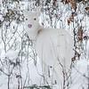 Albinos - December 2017 1