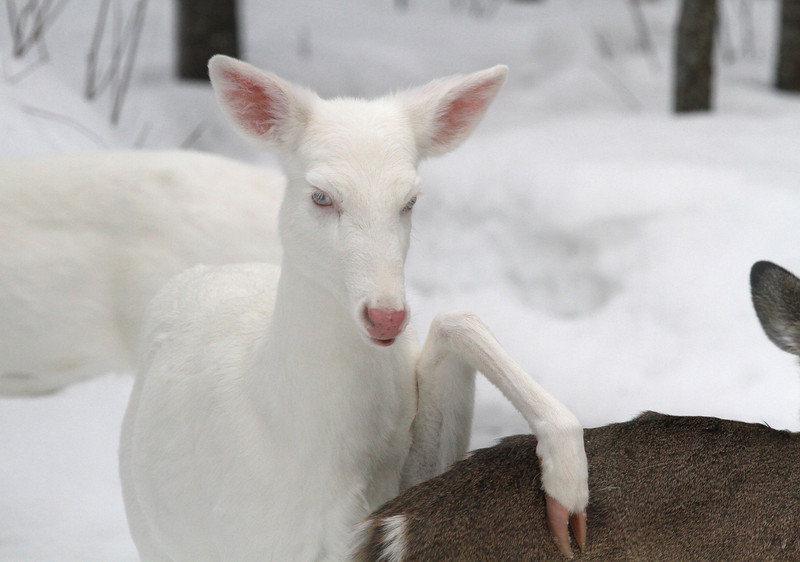 """Hit the Road Jack"" 2 Wild albino deer of Boulder Jct. Wisconsin"
