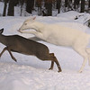 """ White Lighting "" Wild albino whitetail deer"