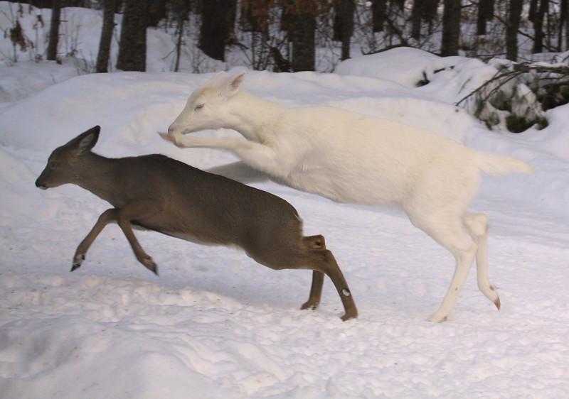 """"""" White Lighting """" Wild albino whitetail deer"""