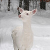 Suzy the Snow Angel - Albino whitetail deer of Boulder Junction Wisconsin
