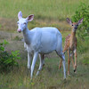 """ Proud New Mother ""  Wild Albino whitetail deer with here new brown whitetail fawn. A real miracle of nature! <br />  To see a You Tube Video of this special event here is a link:   <a href=""http://www.youtube.com/user/mmnorthwoods"">http://www.youtube.com/user/mmnorthwoods</a>"