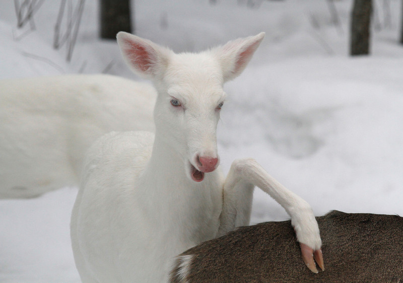 """Hit the Road Jack""  Wild Albino deer of Boulder Jct. Wisconsin"