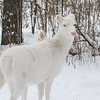 Albinos - December 2017 11