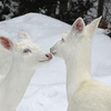 """ Deer Love""  Wild Albino whitetail deer of Boulder Junction Wisconsin"