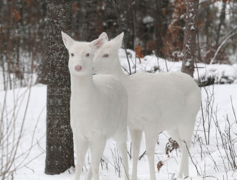 """ Winter Visitors""   Albino Whitetail deer of Boulder Junction Wisconsin"