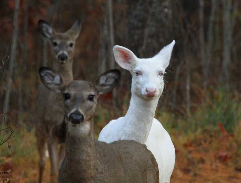 """  I'm Stuck in the Middle Again  ""  Wild Albino whitetail deer of Boulder Junction Wisconsin"