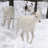 """  Winter Warriors  "" Wild Albino whitetail deer of Boulder Junction Wisconsin"