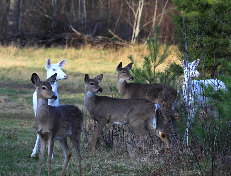 """ Heads Up  ""  Wild albino whitetail deer family of Boulder Junction Wisconsin"