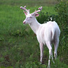 """ Wild Albino Buck in Velvet""  Wild albino deer of Boulder Junction Wisconsin"