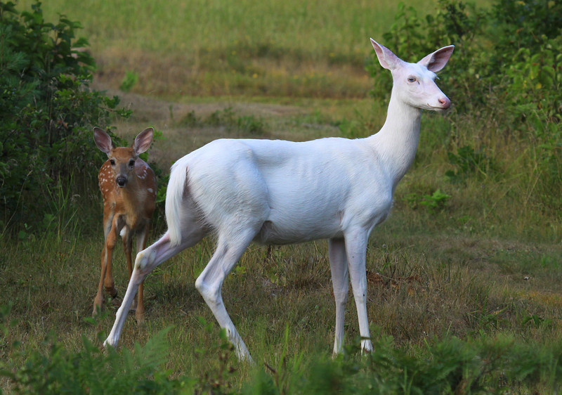 """  Baby Love "" Wild Albino whitetail deer with here new brown whitetail fawn. A real miracle of nature!<br /> To see a You Tube Video of this special event here is a link:  <a href=""http://www.youtube.com/user/mmnorthwoods"">http://www.youtube.com/user/mmnorthwoods</a>"