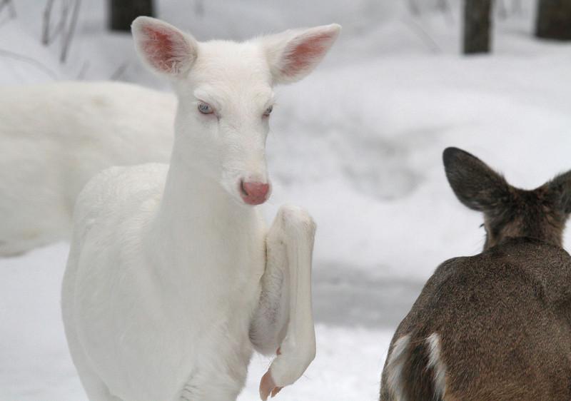 """""""Hit the Road Jack"""" 3 Wild albino deer of Boulder Jct. Wisconsin"""