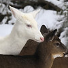 """  A Snow Angel Watches Over Me  ""  Wild albino whitetail deer of Boulder Junction Wisconsin"