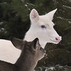 """ Ma You Got Snow on Your Nose""  Wild Albino whitetail deer of Boulder Junction Wisconsin"