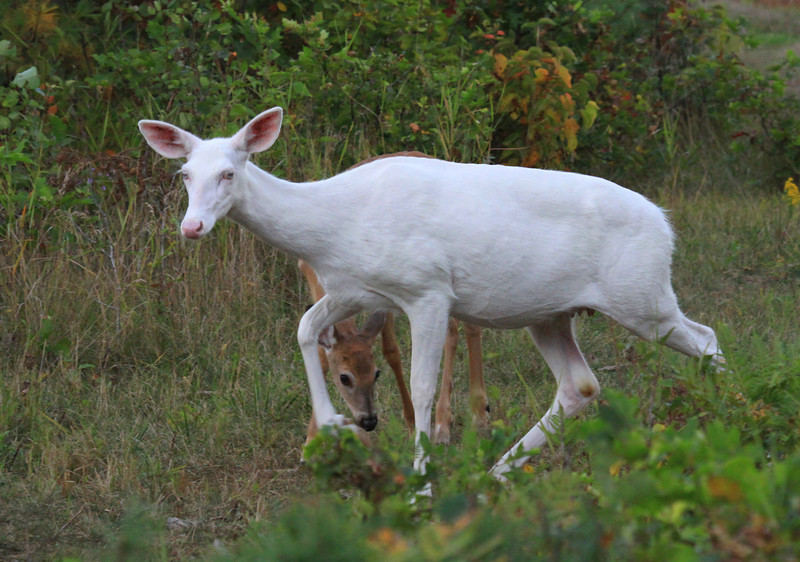 """ Peek-a-boo""  A whitetail fawn playing peek-a-boo behind it's albino whitetail mother. Albino whitetail deer of Boulder Junction Wisconsin."