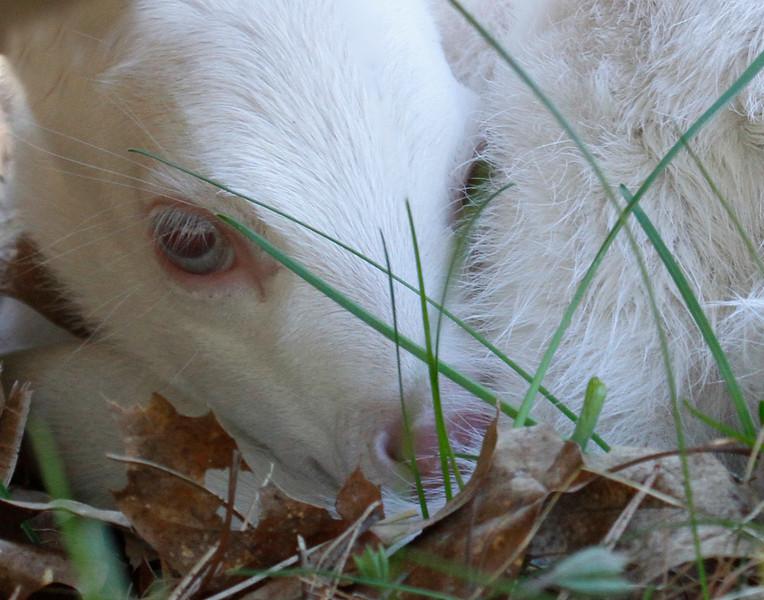 Newborn Albino Fawn 4