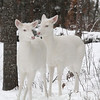 """ Winter Visitors"" 2  Albino Whitetail deer of Boulder Junction Wisconsin"