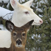 """I'm Sticking Close to Her""  Wild Albino whitetail deer of Boulder Junction Wisconsin"