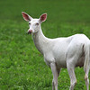""" A Wild Albino Whitetail Deer  eating in a field near Boulder Junction Wisconsin """