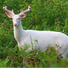 """A Giant Surprise""  Wild Albino whitetail deer of Boulder Junction Wisconsin"